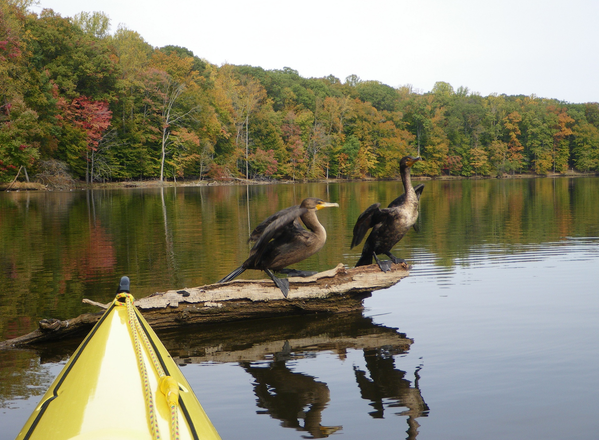 Cormorants - Occoquan Reservoir